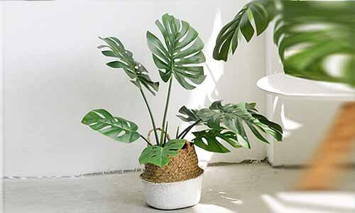 龜背葉植物